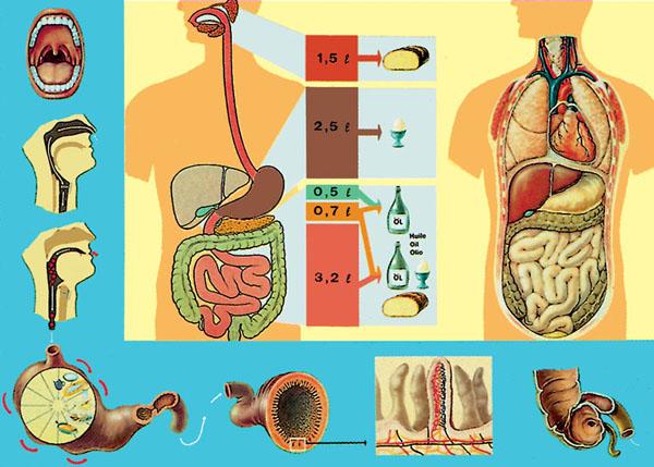 LT: Der Verdauungsweg der Nahrung
