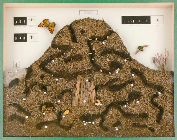 Schaukasten: Ameisenhaufen und seine Bewohner