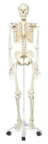MOD: Homo-Skelett