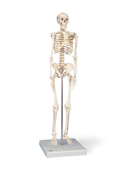 "MOD: Mini-Skelett ""Shorty"" auf Sockel"