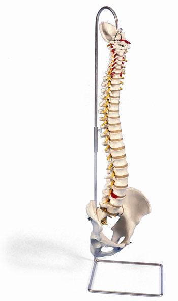 MOD: Wirbelsäule, flexibel