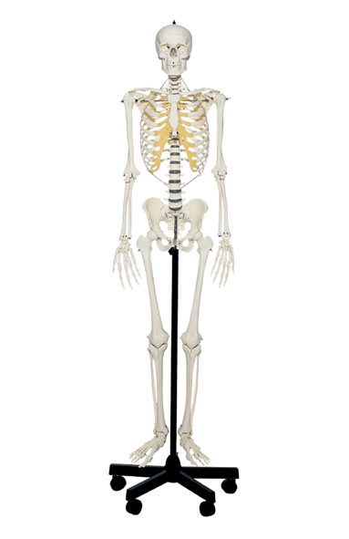 MOD: Künstliches Homo-Skelett